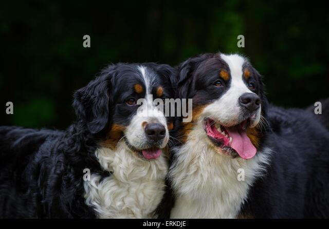 Bernese Mountain Dog Rescue Nsw