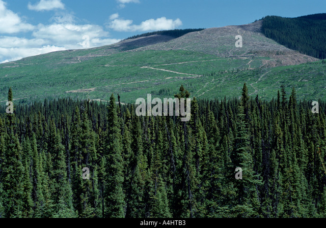 Image result for coniferous forests of canada