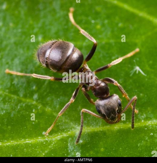 Black Garden Ant (Lasius Niger)   Stock Image