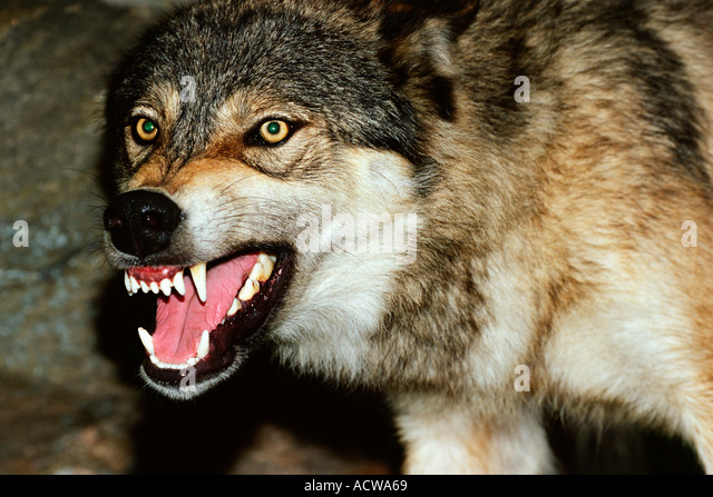 Wolf Power Animal Symbol Of Wildness Social And Family