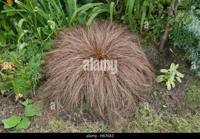 Sedge Perennial Grass Stock Photos & Sedge Perennial Grass Stock ...