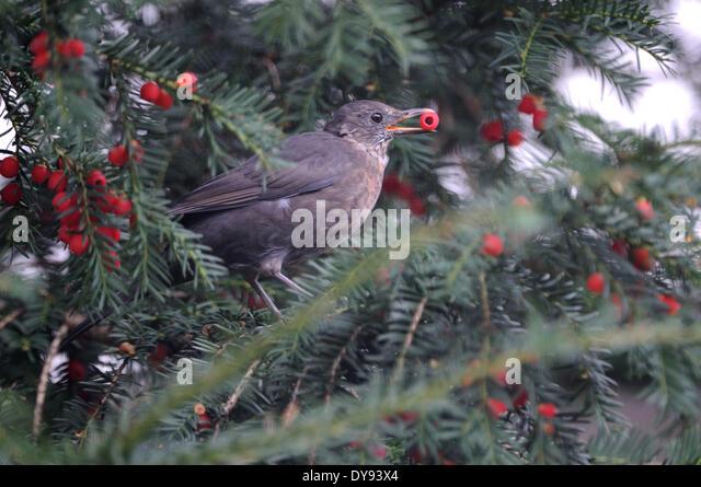 Red-breasted-Blackbird-Sturnella-militaris-Trinidad-Tobago-birds ...