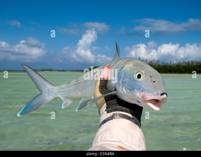 Bonefish bahamas stock photos bonefish bahamas stock for Fly fishing bahamas