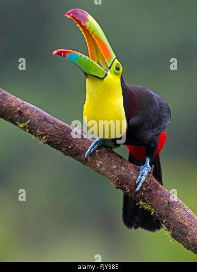 Keel Billed Toucan Costa Rica Stock Photos & Keel Billed ...