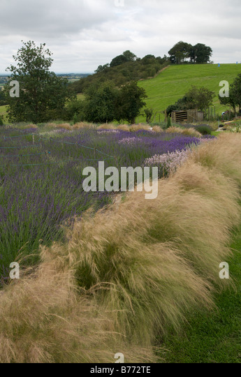 Pleasing Tenuissima Stock Photos  Tenuissima Stock Images  Alamy With Exciting Angel Hair Grass With Stipa Tenuissima Lined Paths And Lavender Garden  With Amazing Toy Store Covent Garden Also Ho Garden Chinese Restaurant Menu In Addition Garden Rake Bq And Dads Garden As Well As Rent Garden Tools Additionally Garden Border Design Ideas Uk From Alamycom With   Exciting Tenuissima Stock Photos  Tenuissima Stock Images  Alamy With Amazing Angel Hair Grass With Stipa Tenuissima Lined Paths And Lavender Garden  And Pleasing Toy Store Covent Garden Also Ho Garden Chinese Restaurant Menu In Addition Garden Rake Bq From Alamycom