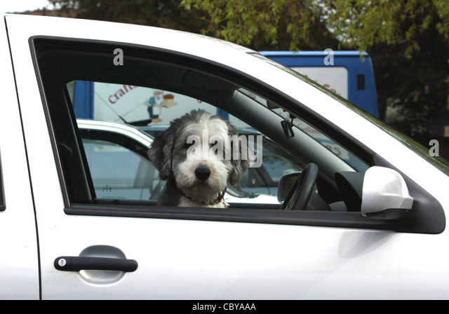 A Dog Appearing To Drive