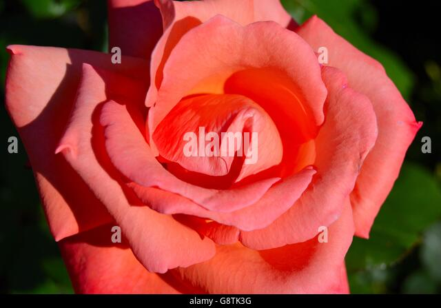 Beautiful Pink Rose In A City Garden   Stock Image