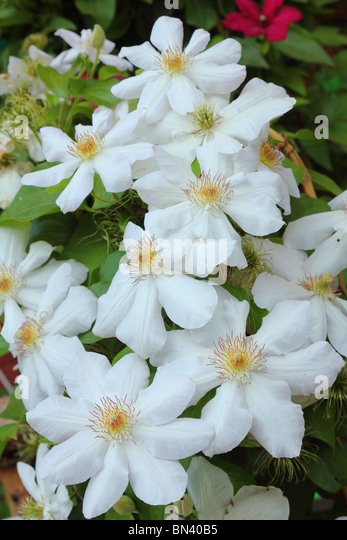 white clematis flowers stock photos amp white clematis