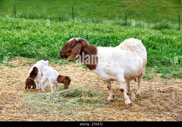 Mother Boer Goat 'Capra aegagrus hircus' with two kids, barnyard feeding on alfalfa, green field, California, - Stock Image
