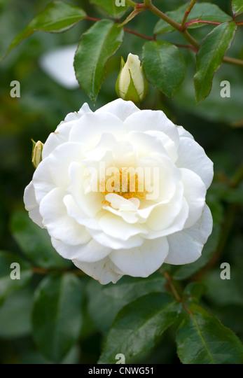 schneewittchen rose stock photos schneewittchen rose. Black Bedroom Furniture Sets. Home Design Ideas