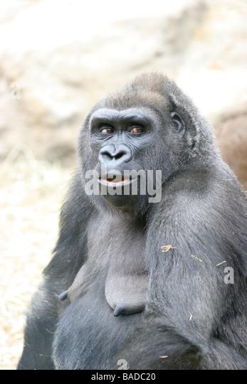 Gorilla amp Smile Vector Images over 650