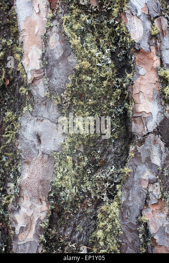 what is a tree trunk covered with 4 letters - moss covered bark stock photos moss covered bark stock