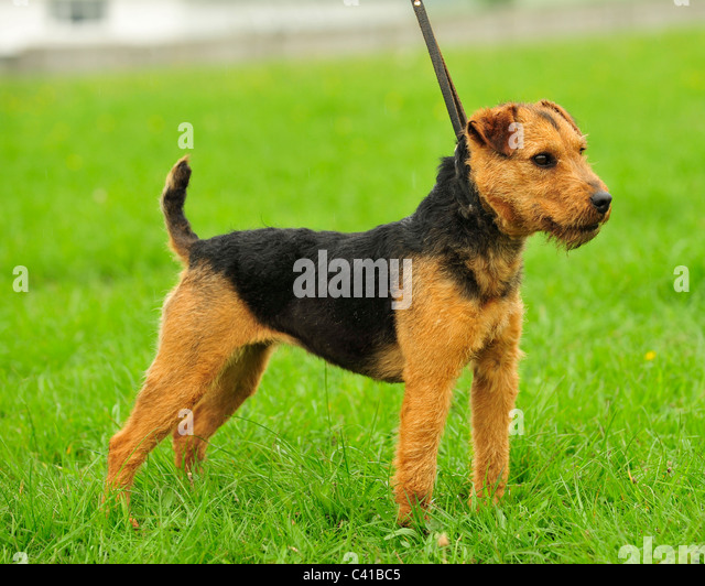 Lakeland Terrier Dogs For Sale