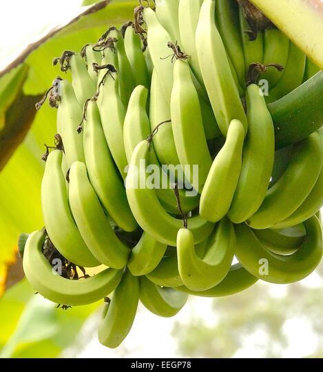 [Image: banana-tree-on-closeup-eegp78.jpg]