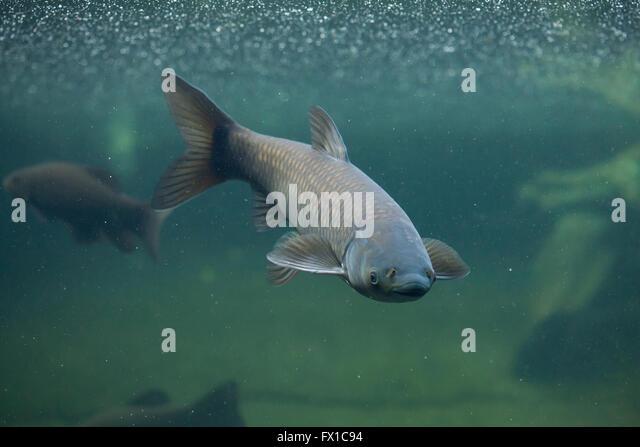 Amur river stock photos amur river stock images alamy for White amur fish