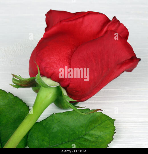 rose flowers valentines red marriage anniversary birthday stock, Beautiful flower