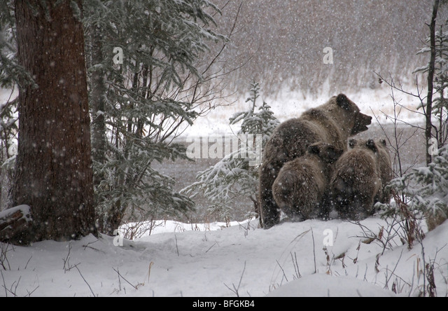 Snowy forest stock photos snowy forest stock images alamy for Snow bear ice fishing