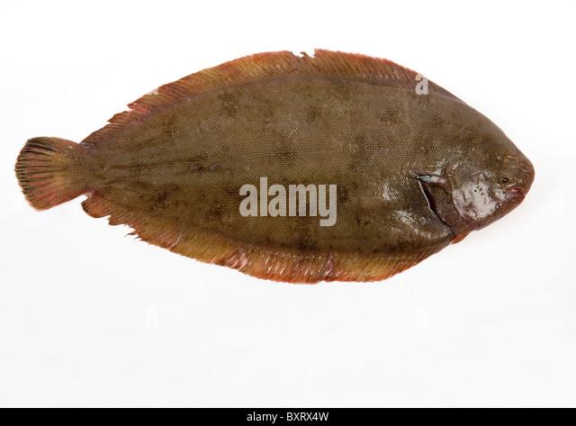 Flatfish stock photos flatfish stock images alamy for Dover sole fish