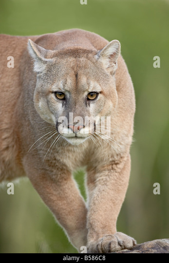 cougar women in minnesota Worthington — a worthington woman believes she may have seen  may  not be a common sighting in southwest minnesota, coyotes are.