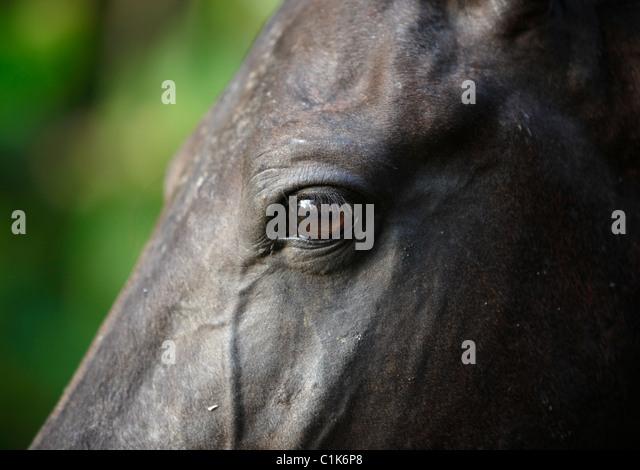 Black horse face close up - photo#4