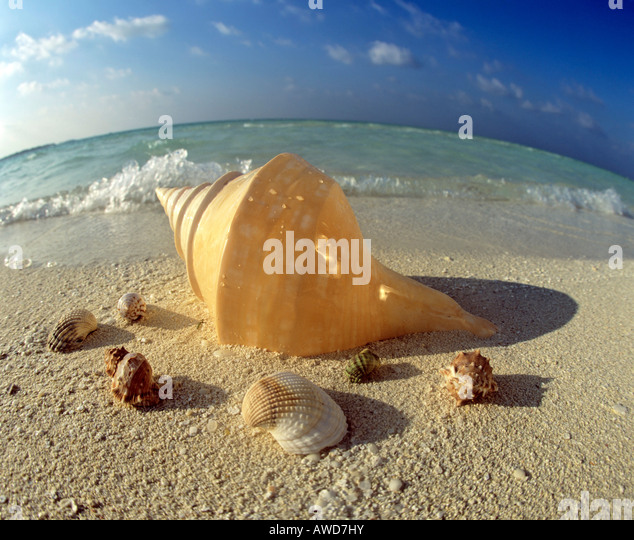India Sea Shells Stock Photos India Sea Shells Stock Images Alamy
