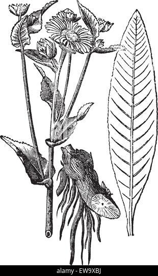 elecampane or horse heal or inula helenium vintage engraving old engraved illustration of