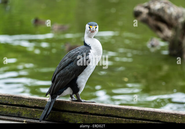 little pied cormorant microcarbo melanoleucos in cleland wildlife park sa australia