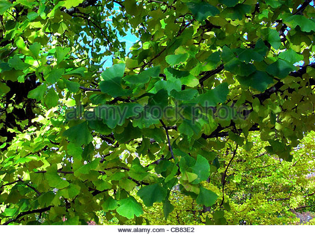 ginkgo blaetter stock photos ginkgo blaetter stock images alamy. Black Bedroom Furniture Sets. Home Design Ideas
