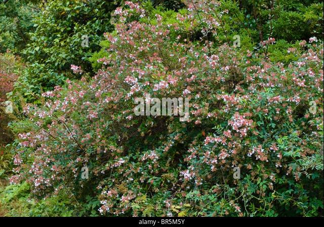 abelia x grandiflora stock photos abelia x grandiflora stock images alamy. Black Bedroom Furniture Sets. Home Design Ideas