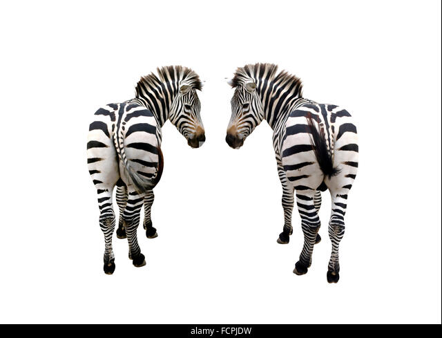 an introduction and background of the plains zebra Each species of zebra has a different general pattern of stripes the grevy's  zebra has very thin stripes the mountain zebra has vertical stripes.