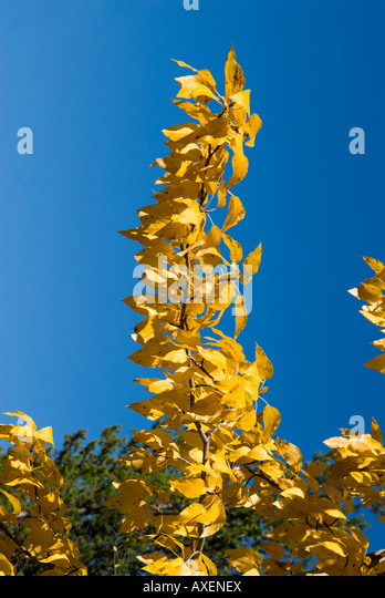 Populus trichocarpa stock photos populus trichocarpa stock black cottonwood yellow leaves blue sky stock image ccuart Choice Image