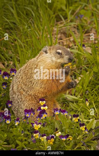 Groundhog woodchuck marmota monax mother stock photos for Woodchuck usa