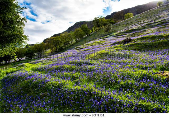 Bluebells bloom in the Glens of Antrim. - Stock Image