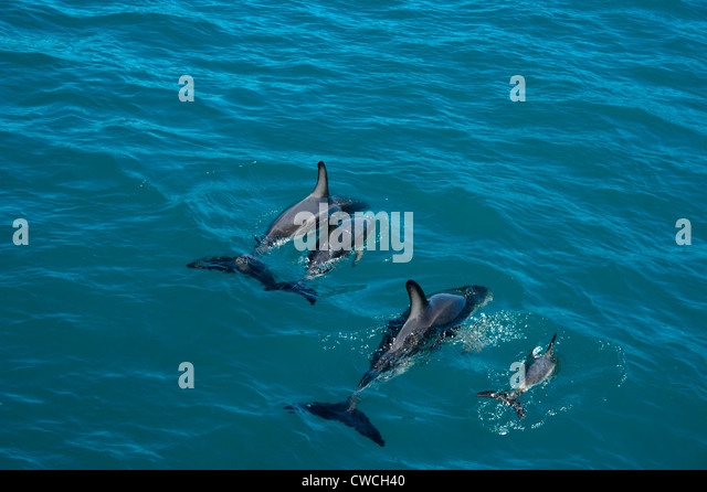 Baby Dusky Dolphin