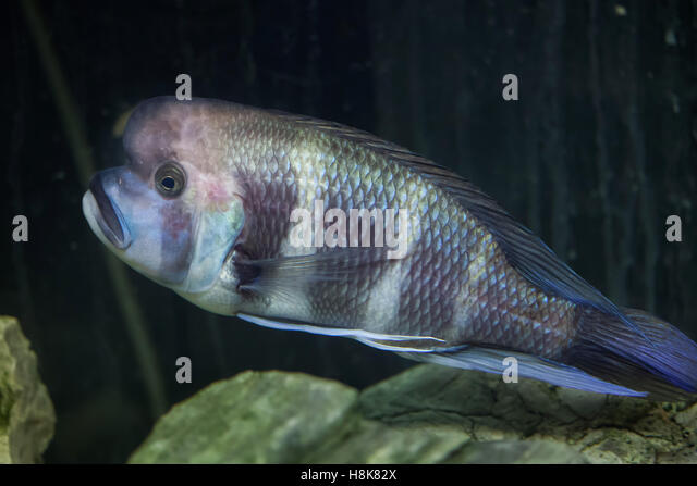 frontosa cyphotilapia frontosa also known as the humphead cichlid stock image