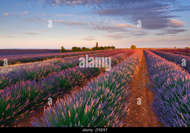 Lavander field sunrise - Stock Image