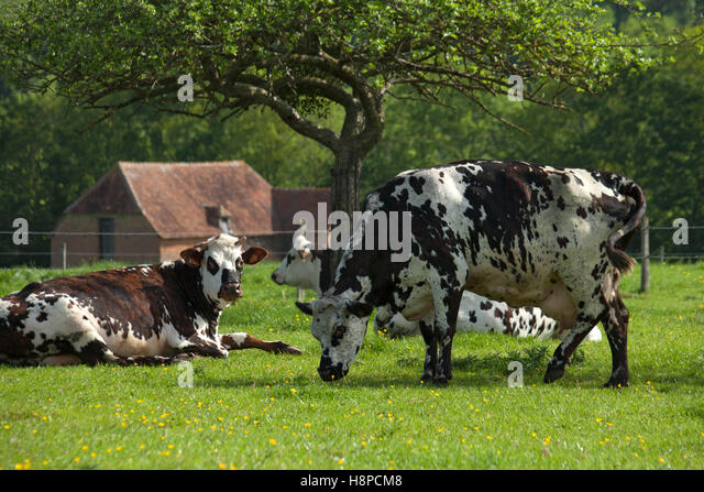 Image Gallery Norman Cattle