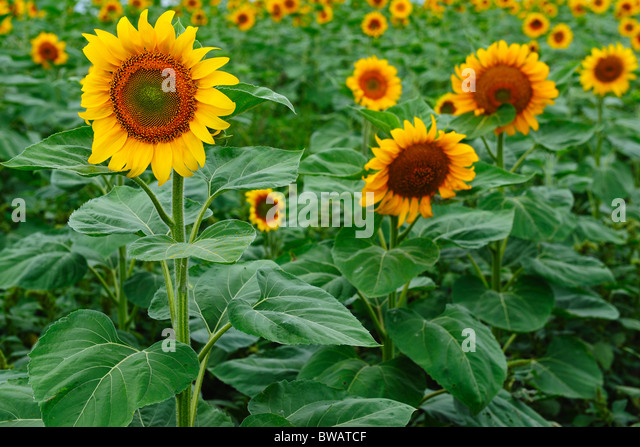 sunflower field picture blooming - photo #48