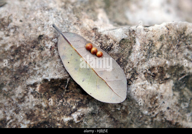Insect Eggs Stock Photos & Insect Eggs Stock Images - Alamy Queen Ant Laying Eggs
