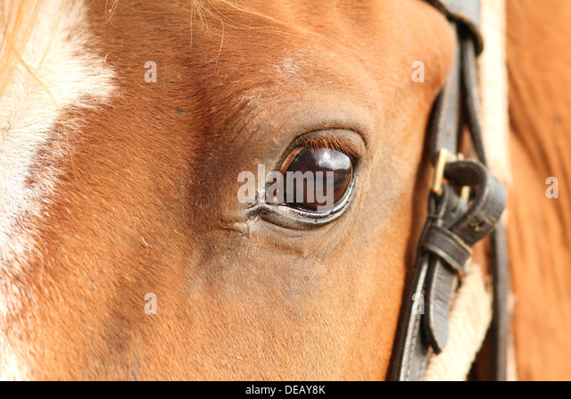 Horse Head Close Up With Bridle