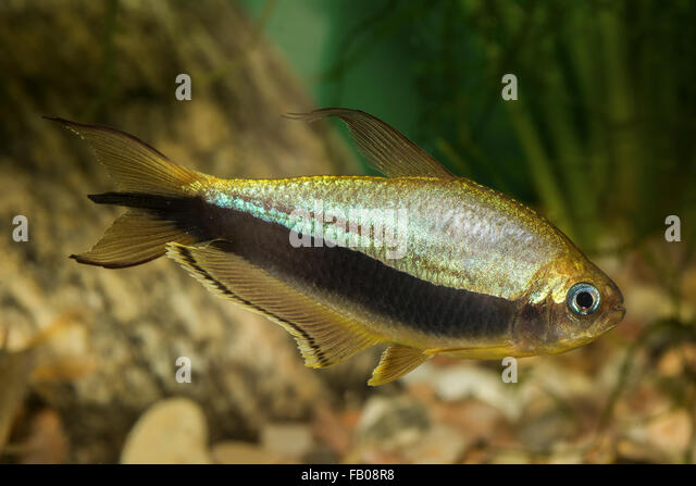 Black tetra stock photos black tetra stock images alamy for Black and white striped fish freshwater