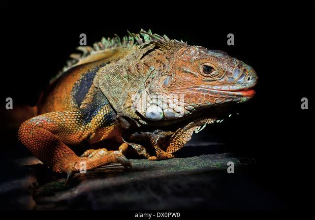 Red Iguana Stock Photos & Red Iguana Stock Images - Alamy