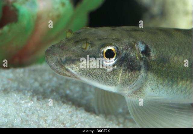 Algae eater stock photos algae eater stock images alamy for White algae in fish tank