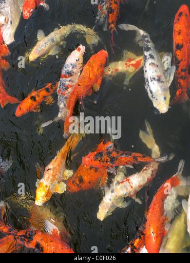 Black carp stock photos black carp stock images alamy for Koi spawning pool