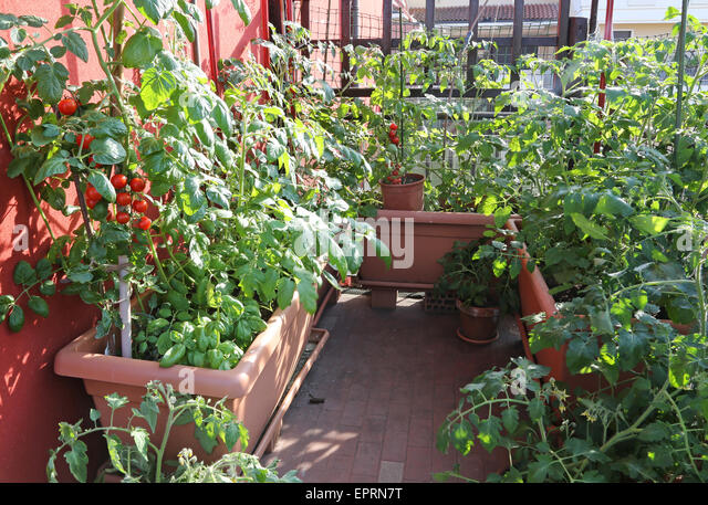 Balcony tomato stock photos balcony tomato stock images for Terrace garden plants
