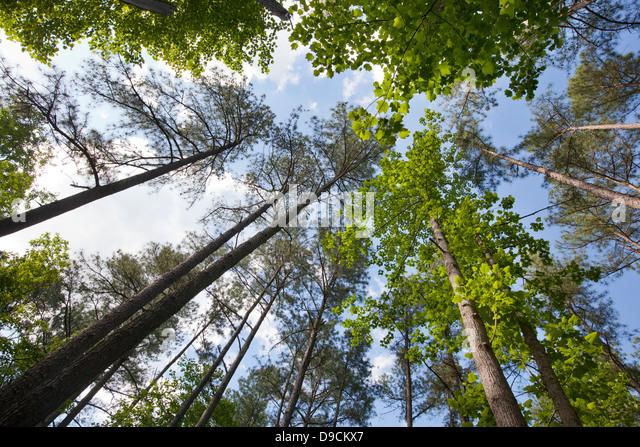 Looking upward towards the sky through a forest canopy. - Stock Image & Skyward Forest Stock Photos u0026 Skyward Forest Stock Images - Alamy