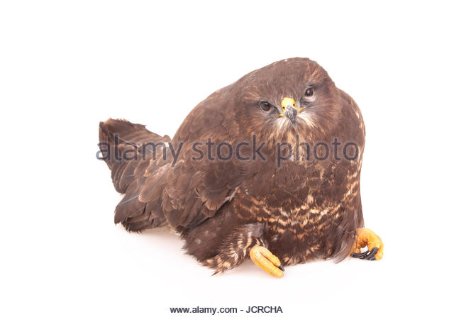 A common buzzard, Buteo buteo, found on a roadside, too weak to run away. It was caught and secured for the night, - Stock Image