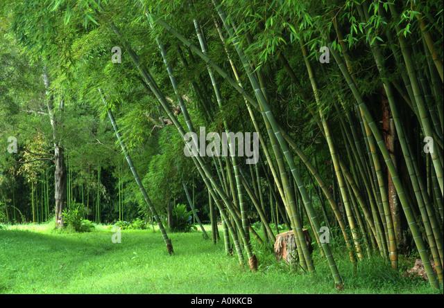 Moso bamboe forest ecosia