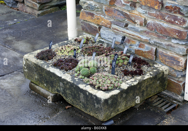 STONE TROUGH PLANTED WITH SEMPERVIVUMS AT RHS ROSEMOOR GARDEN DEVON  PHOTOGRAPHED WITH RHS PERMIT   Stock
