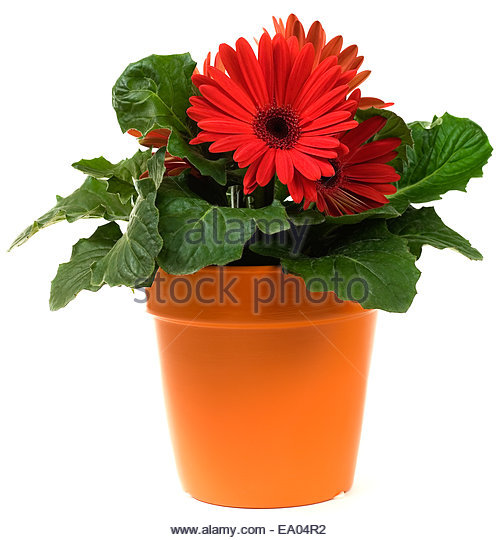 how to grow gerberas in pots